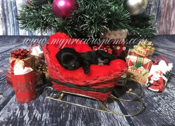 christmaspuppy